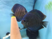 Stunning Breeding pair Blue Turk Discus - TOP QUALITY