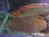 fresh water crayfish ( lobster )for sale Leeds