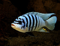 F1/Wild cichlids for sale or swap for tropheus