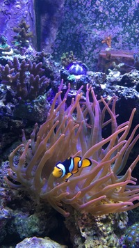 Breeding pair of peculiar clown fish and bubble tip anemone