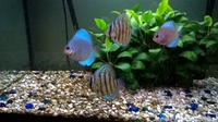 Young Blue Leopard Snakeskin Discus for sale.