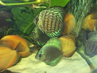 STENDKER DISCUS 3 INCH VARIOUS TYPES - ONLY 10 LEFT