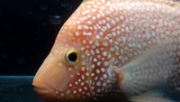 OneStopTropicals | Stock List ~ Finest Quality Cichlids ~ Flowerhorns ~ Red Texas ~ Americans ~