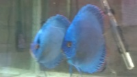 Pair of blue cobalts