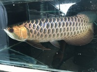 PLANET AROWANA TRUE MALAYSIAN GOLDEN KERIAN BLUEBASE CROSSBACKS