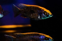 Kent rift cichlids Rift Valley cichlids import from Germany