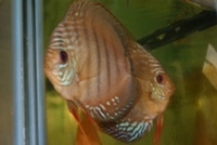 RED ALENQUER DISCUS 5 to 6cm �95 5 for �. 7cm �.99 4 FOR � 10CM �.95 OR 4 FOR �0 ,PAIRS �.95 IN STOCK NOW.