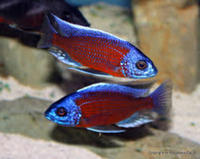 COPADICHROMIS KADANGO RED FIN - £ 3 each , size 2 inch - is 10 fish ,