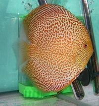 PLYMOUTH DISCUS FOR QUALITY DISCUS FISH, AT THE LOWEST POSSIBLE PRICES.