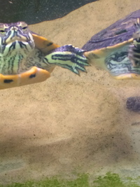 Four Yellow Belly Turtles to be rehomed.