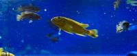 Williamsi Blue Lips and Membe Deep Cichlids For Sale