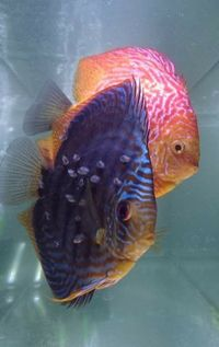 For sale: Proven breeding pair of Discus