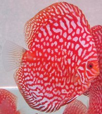 Award Winning Corban Discus