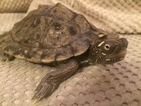 For Sale.... mississippi map turtle