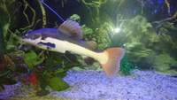 Tropical red tailed catfish