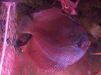 Large 5-6 inches Super Eruption from Chens Discus
