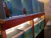 DISCUS FISH FOR SALE - NEW STOCK 21/05/17 AT DISCUS FISH SALES - NO1 UK DISCUS SUPPLIERS - UK DELIVERY AVAILABLE