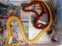 corn snakes 4 females 1 male