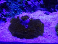 Long Spined Urchin & Yellow Polyps for Sale