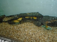 Yellow Labs (Labidochromis Caeruleus) for sale
