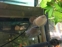 RED ALENQUER DISCUS 9CM �.95 OR 5 FOR �0 ,PAIRS �.95 IN STOCK NOW.