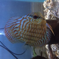 4-5 inches Discus for sale �