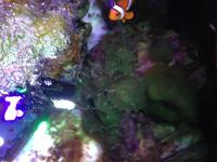 Corals and pair of clown fish for sale