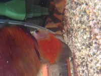 Big Marlboro red discus fish for sale x2