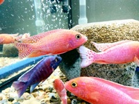 African Mix Malawi Cichlids ( East London )