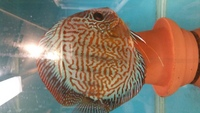 3 inch lss x red turk young discus for sale