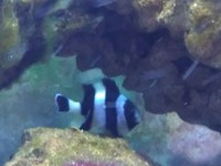 4 striped damselfish free to a good home