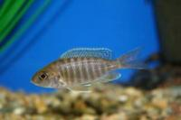 MALAWI HAPS AND PEACOCKS CICHLIDS � /></a><br><br><a class=
