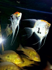 6 Large geophagus abalios and a pair of koi angelfish