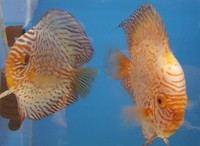 6 Discus for sale including 2 pairs