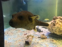 Large dog face puffer