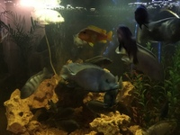 Malawi Mixed Cichlids for sale