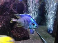 placidochromis jalo reef large male(croydon)