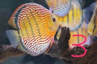 High Quality WILD Discus for sale