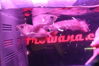 COMMUNITY OF 8 ASIAN AROWANA