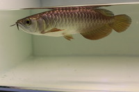 BLUE BASE CROSSBACK ASIAN AROWANA