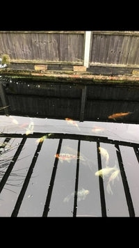 Outdoor pond fish for sale