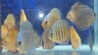 100 s of DISCUS @ CHESHIRE OAKS DISCUS PET SHOP, from �. we only sell discus