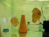 10 X Turquoise Discus 2.5 inches - 3 inches (� For 10)
