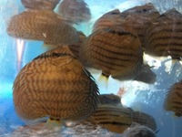 Young discus for sale