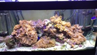 Various sized Marine Cabbage Coral frags/corals