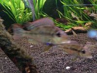 Geophagus Tapajos(South American Cichlid) 1-3 inches 4for �