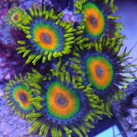 Stunning grade a zoas and Ricordea and LPS Barnsley.