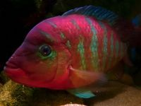 FESTAE (Red Terror) Fry available - ONLY 50 Available