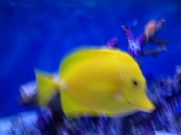 XL Yellow tang