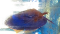 Proven Breeding Pair of Red Alenquer Discus